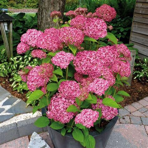 Garten Gestalten Hortensien by Hortensie Pink Annabelle G 252 Nstig Kaufen Mein