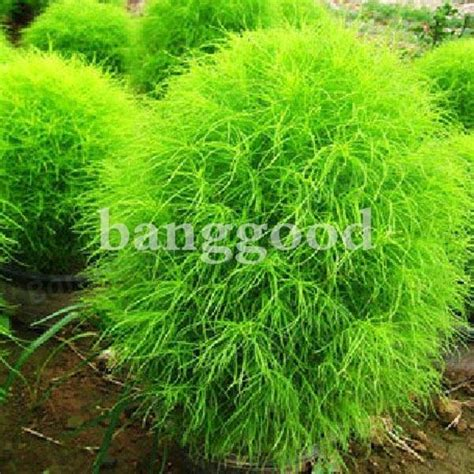 Benih Grass Burning Bush 100 kochia scoparia grass plants seeds us 1 49 sold out