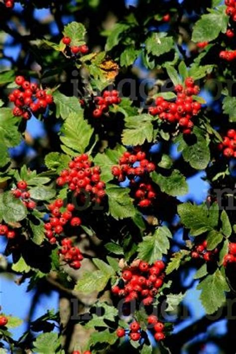 sorbus mougeotii rich red berries in summer stock photo