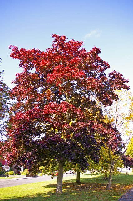 american maple tree uk file maple tree n14 geograph org uk 998391 jpg wikimedia commons