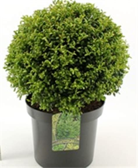 topiary plants for sale ilex hedging and topiary plants for sale
