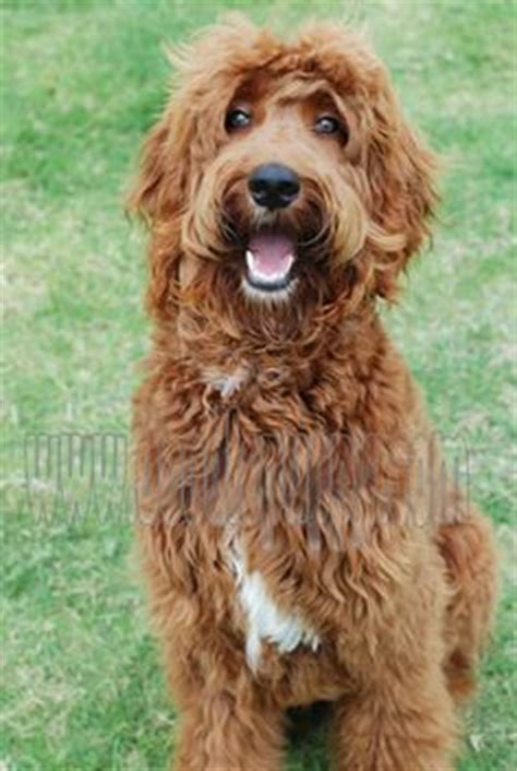 irish setter doodle ontario pin irish doodle information and pictures on pinterest