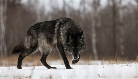 timberwolf color timber wolf price colors size characteristic