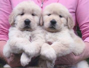 cloverdale golden retrievers puppies www simplesite cloverdale