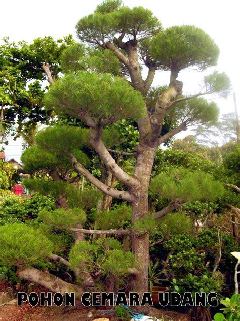 Pohon Pohonan Cemara Isi 4 pohon cemara udang tukang taman
