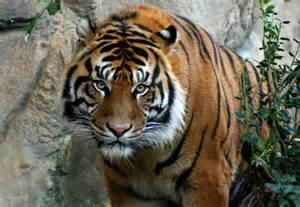 Tiger And Jaguar As A Zookeeper Crouching Tiger Jaguar