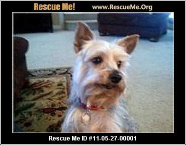 paws yorkie rescue paws yorkie sanctuary rescue rogers ar rescue animals