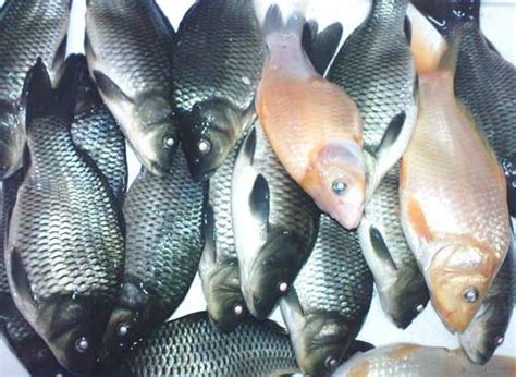 cara membuat umpan lele dengan ikan mas cara membuat umpan jitu ikan mas