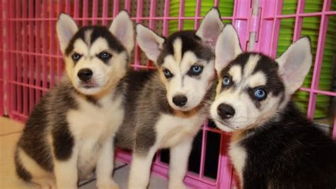 siberian husky puppies for sale in ga amazing siberian husky puppies for sale in near atlanta ga at puppies for