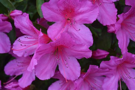 azalea colors formosa azalea indica the landscape of us