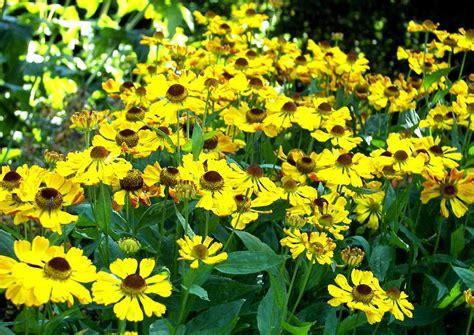 stauden gelb winterhart sonnenbraut helenium hybriden beste bl 252 tenstauden f 252 r