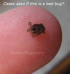 do bed bugs come out in the daytime 1000 images about bed bugs on pinterest bed bugs signs