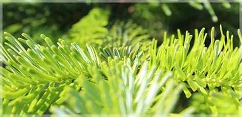 christbaum kaufen in m 252 nchen bei christbaumdealer