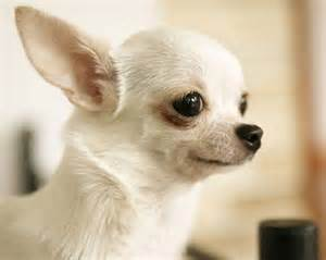 Cute chihuahua dogs picture