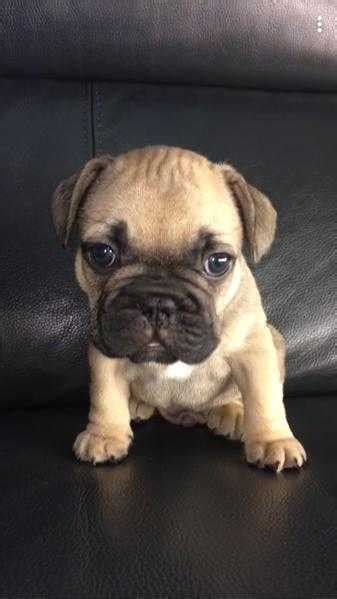 pug puppies for sale in norfolk and suffolk pets classifieds in east of