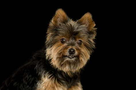 yorkie wallpaper for walls yorkshire terrier wallpapers images photos pictures
