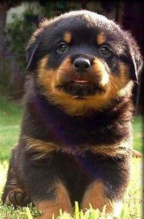 mad rottweiler german american rottweiler breeds picture