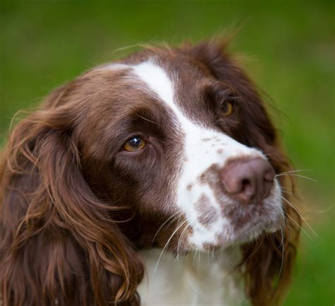 springer puppies springer spaniel breed guide learn about the springer spaniel