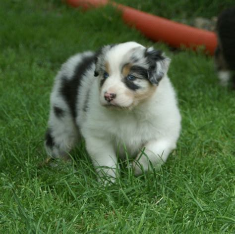 how much are australian shepherd puppies how much are australian shepherd puppies canineplanet net