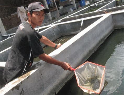 Pakan Larva Ikan Gabus benih gabus siap makan pelet andalan air tawar trobos
