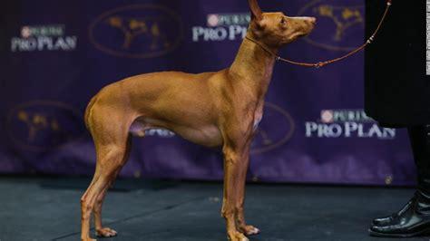 new breeds westminster show california journey wins top prize cnn