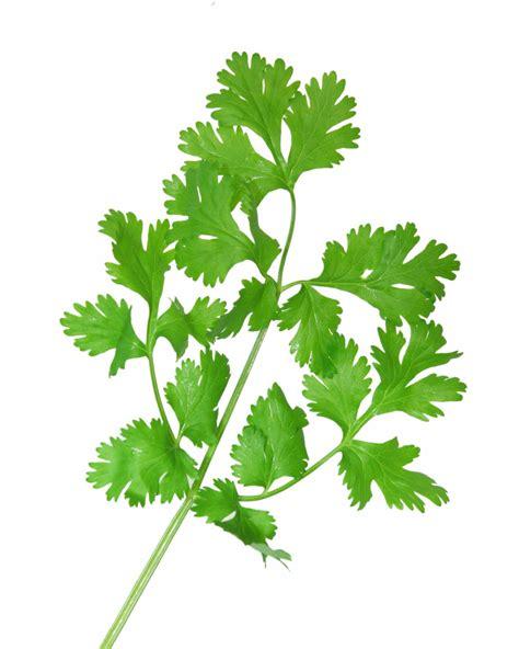 Cilantro Coriander Leaves vegan recipes from idahovegan cilantro and lime bean salsa