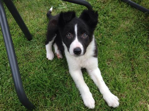 collie for sale border collie for sale forres morayshire pets4homes