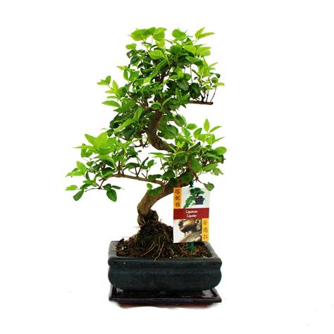 garten bonsai kaufen bonsai baum pflege bonsai baum pflege zu hause bonsai