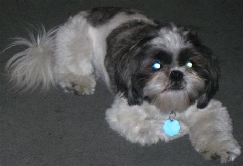 how to if a shih tzu is purebred shih tzu assistedlivingcares