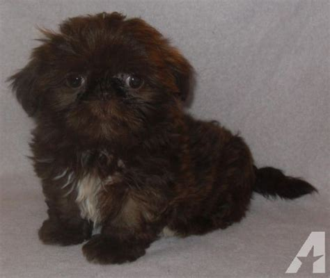 liver brown shih tzu teacup chocolate liver akc shih tzu hattie for sale in seattle washington