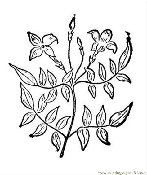 coloring pages of jasmine flower free coloring pages of jasmine flower