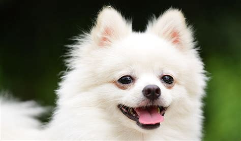 Pomeranian Shedding by The Pomeranian Breed All About The Pom