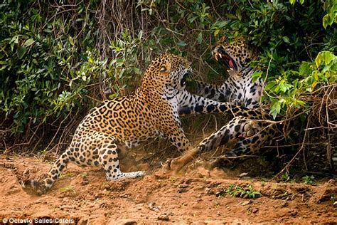 Jaguar Fights Mating Jaguars End Up Clawing At Each Other In