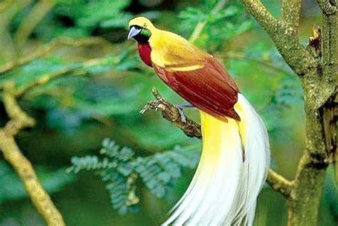 Kaos White Putih Kata Dan Gambar burung cendrawasih papua lahir di taman safari republika
