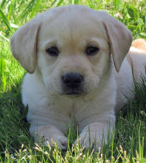 daily puppy joey the labrador retriever puppies daily puppy