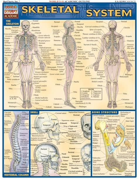 Skeletal System Worksheets For College by Skeletal System Teaching Nursing Students And Physiology