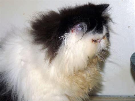 gatti persiani in vendita cucciolo di gatto persiano femmina bianco e nero in