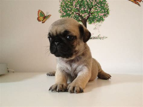 fawn pug puppies 5 beautiful kc registered fawn pug puppies birmingham west midlands pets4homes