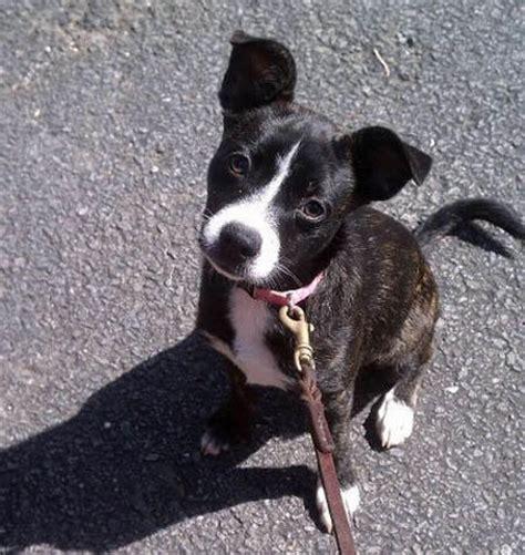 boston terrier mix puppies husky hound mix