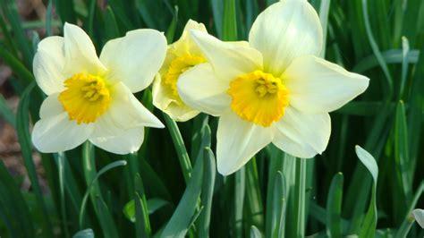 narciso fiore narciso miti storia e linguaggio dei fiori il giardino