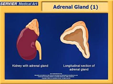 the outer section of the adrenal gland is the adrenal cortex gland description functions of cortex and