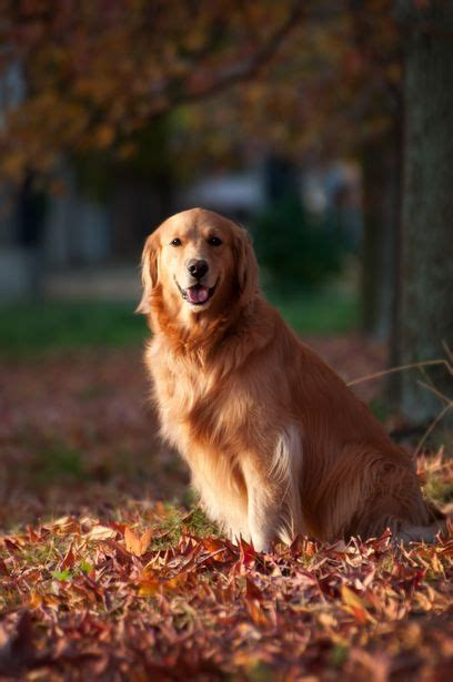 golden retrievers top golden retriever sites forums best 25 golden retriever names ideas on pinterest cute