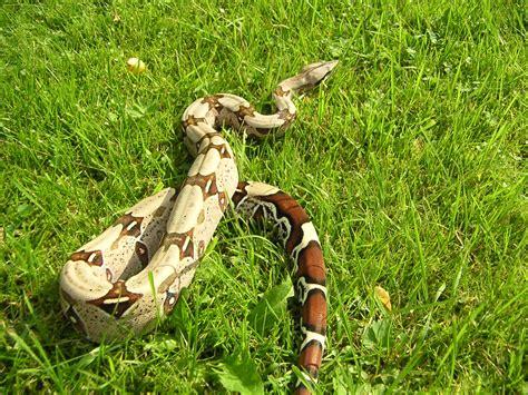 boa constrictor constrictor wikipedia la enciclopedia libre