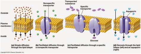 passive transport diagram 25 passive and active transport across cell membranes