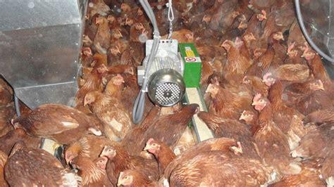 galline ovaiole alimentazione sistema di alimentazione a catena piatta