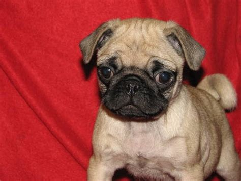 pugs for sale in pittsburgh akc pug puppy for adoption lovable friends adoption