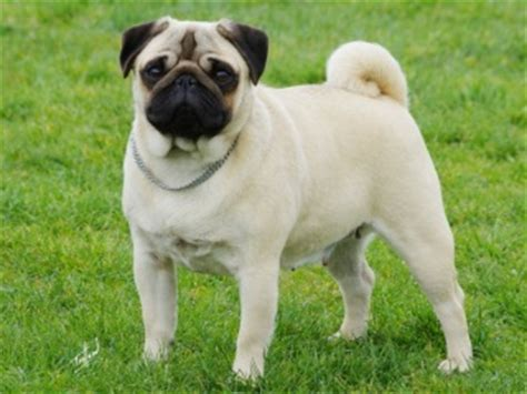how much are pugs in australia popular breeds in australia total pets
