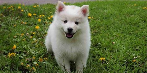 eskimo puppy american eskimo miniature standard information characteristics facts