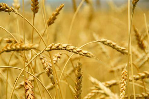 alimenti che contengono frumento allergia al frumento sai riconoscerla locontenaturalimenti