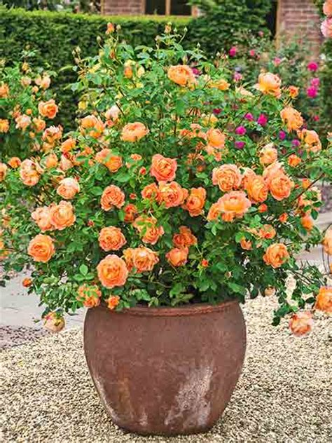 How To Care For Patio Roses by A Guilt Free Container Roses This House